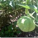 Hazards of Growing Tomatillos